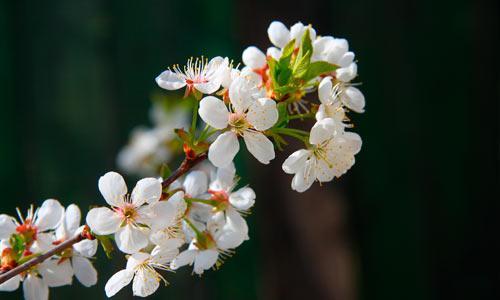 Яблони в цвету — какое чудо! Фото В. Бербенца